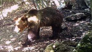 Trentino, l'orso M49 è fuggito di nuovo dal recinto del Casteller