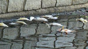 Misteriosa strage di pesci: cosa sta succedendo al fiume Olona?