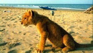 Che ci fa un leone sulla spiaggia di Rimini? La storia di Cleo