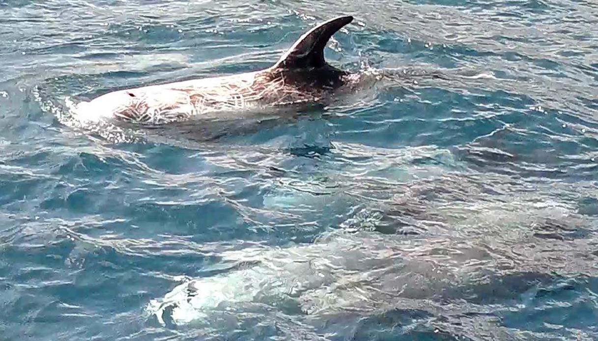 Nel mare di Ischia tornano i grampi: avvistati dopo 3 anni