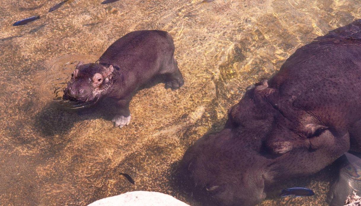 Torino, al Bioparco Zoom è nato un cucciolo di ippopotamo