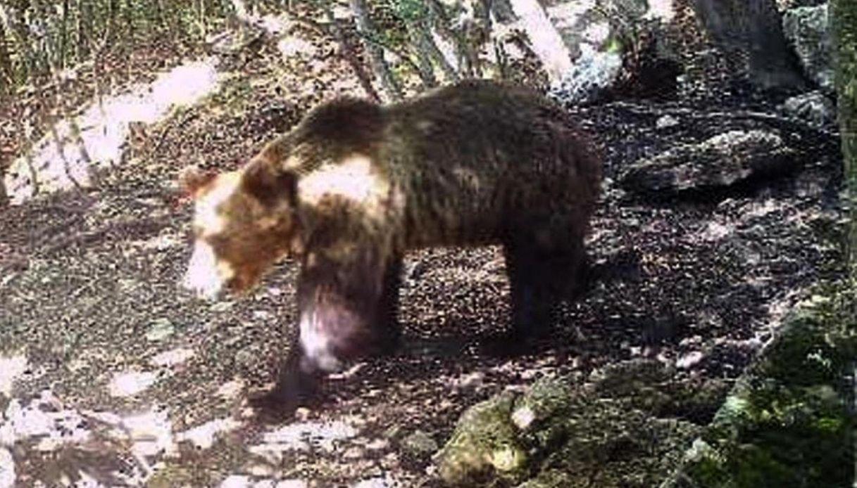 Trento, l'orso M49 non ha più il collare che serviva a tracciarlo