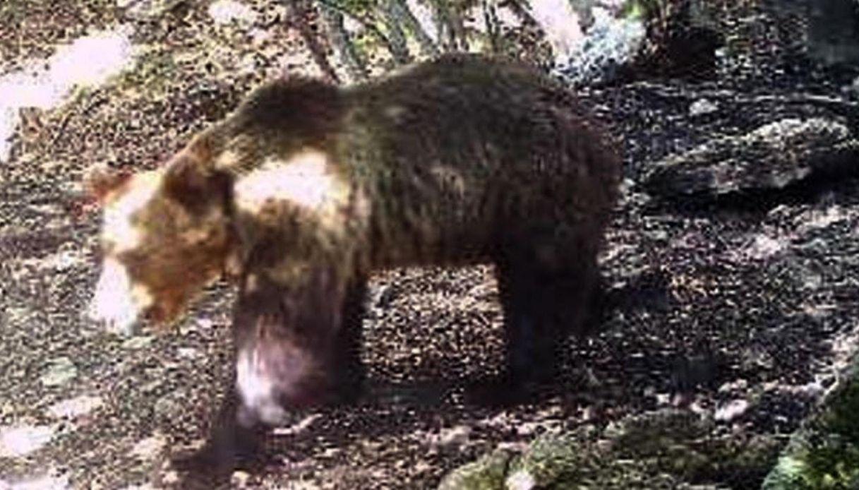 Orso M49, primo attacco dopo la fuga: è in Val di Fiemme