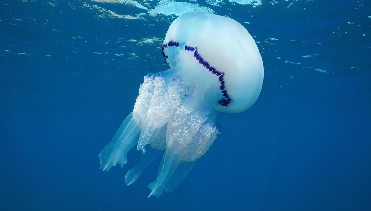 Sicilia, invasione di meduse giganti del Mar Mediterraneo