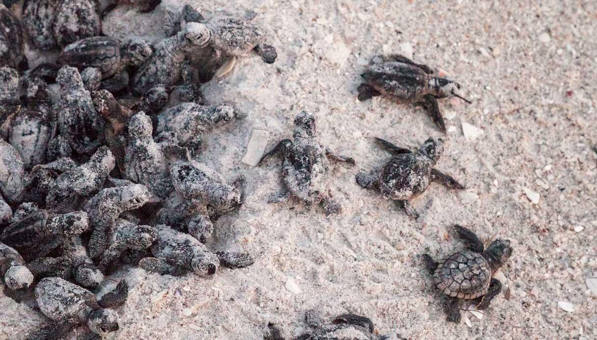 Caretta caretta, record di nidi in Italia: dove si trovano
