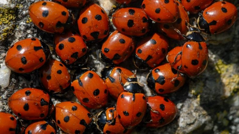Roma, 4mila coccinelle per salvare i pini di Villa Leopardi