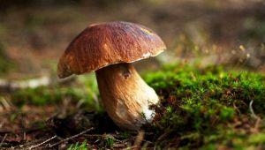 Dove mangiare e comprare i migliori funghi porcini d'Italia