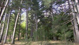 I Giganti della Sila: il bosco con gli alberi alti come palazzi