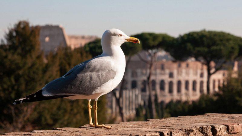 Il gabbiano Emilio viaggia per 750 km per far ritorno al Colosseo
