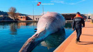 Balena gigante trovata a Sorrento
