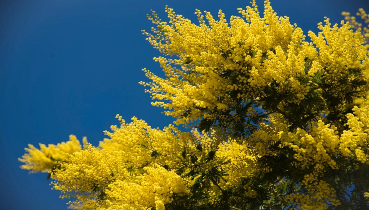 in Sicilia sbocciano mimose in anticipo