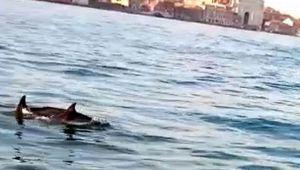 Delfini Venezia