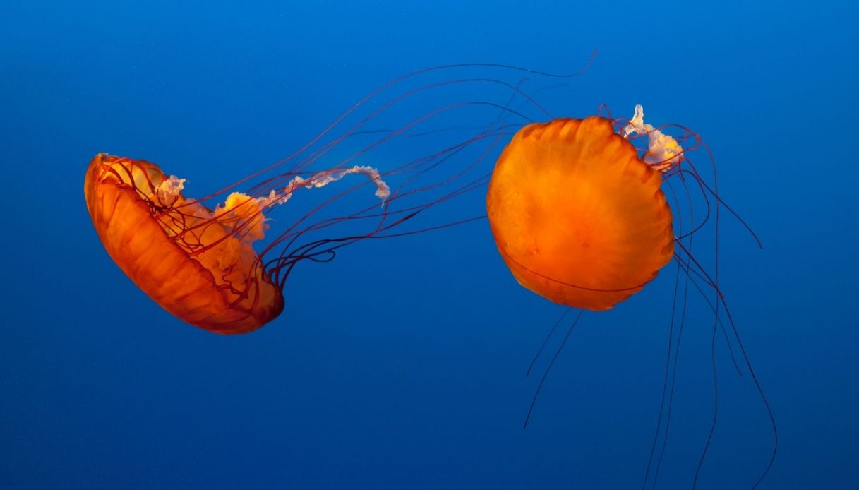 Presto mangeremo meduse? Le ricette degli chef italiani