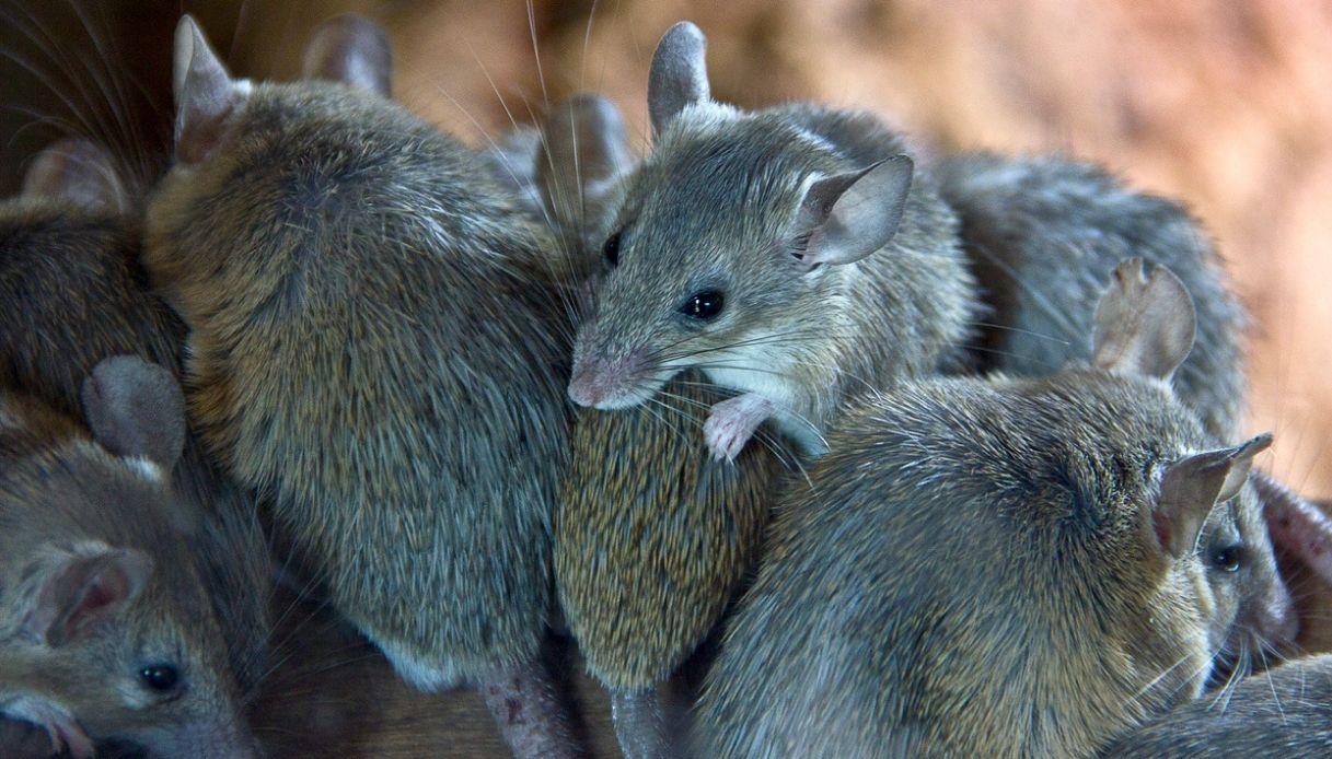 Mistero dei topi in Veneto: spunta l'ipotesi