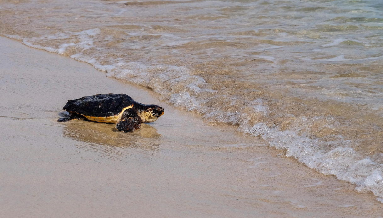 Tartarughe Caretta Caretta a Jesolo: è nido più a nord al mondo