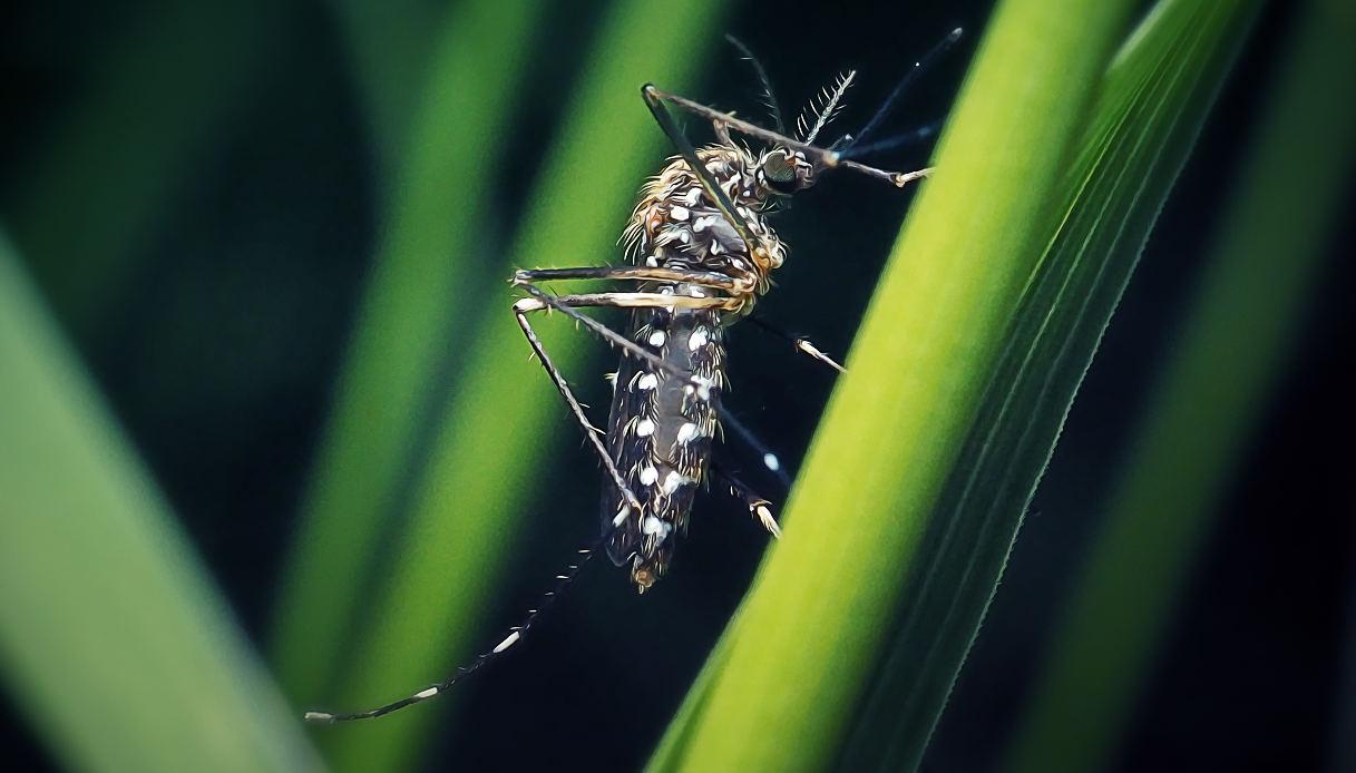 La zanzara giapponese ha invaso l'Italia: le aree più colpite