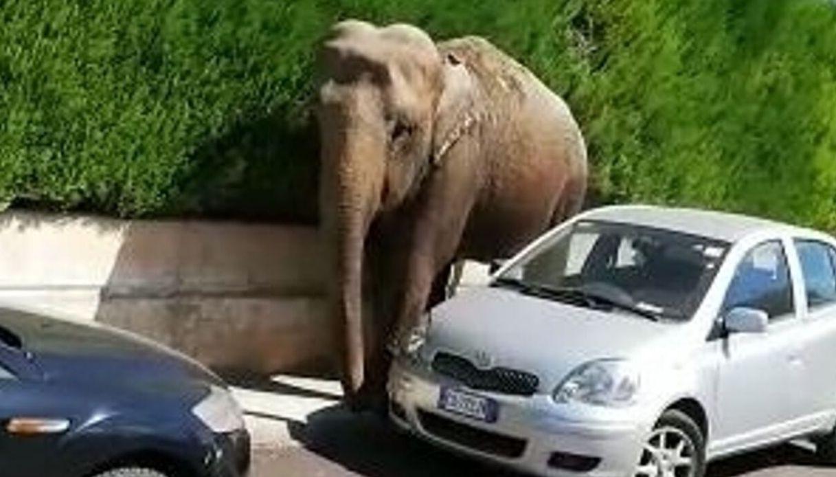 Risultati immagini per elefante scappa a brindisi