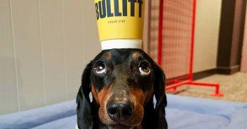 cane-equilibrista