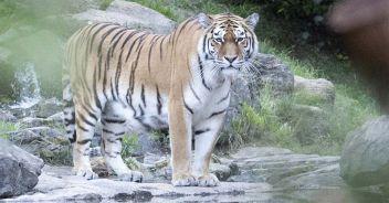 tigre-uccide-donna-zoo-zurigo