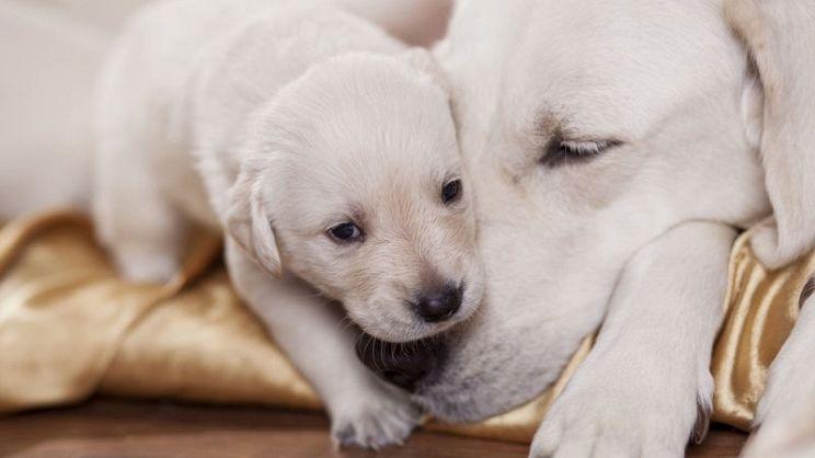 Gravidanza Di Un Cane Tutti I Consigli Per Affrontarla Al Meglio