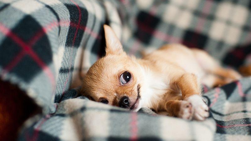 10 razze di cani perfette per chi vive in appartamento