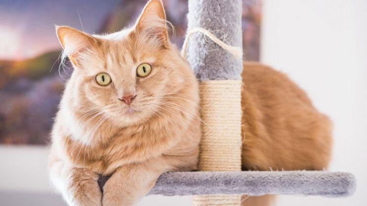 Gatto Siberiano Carattere Aspetto E Particolarità Paginegialle