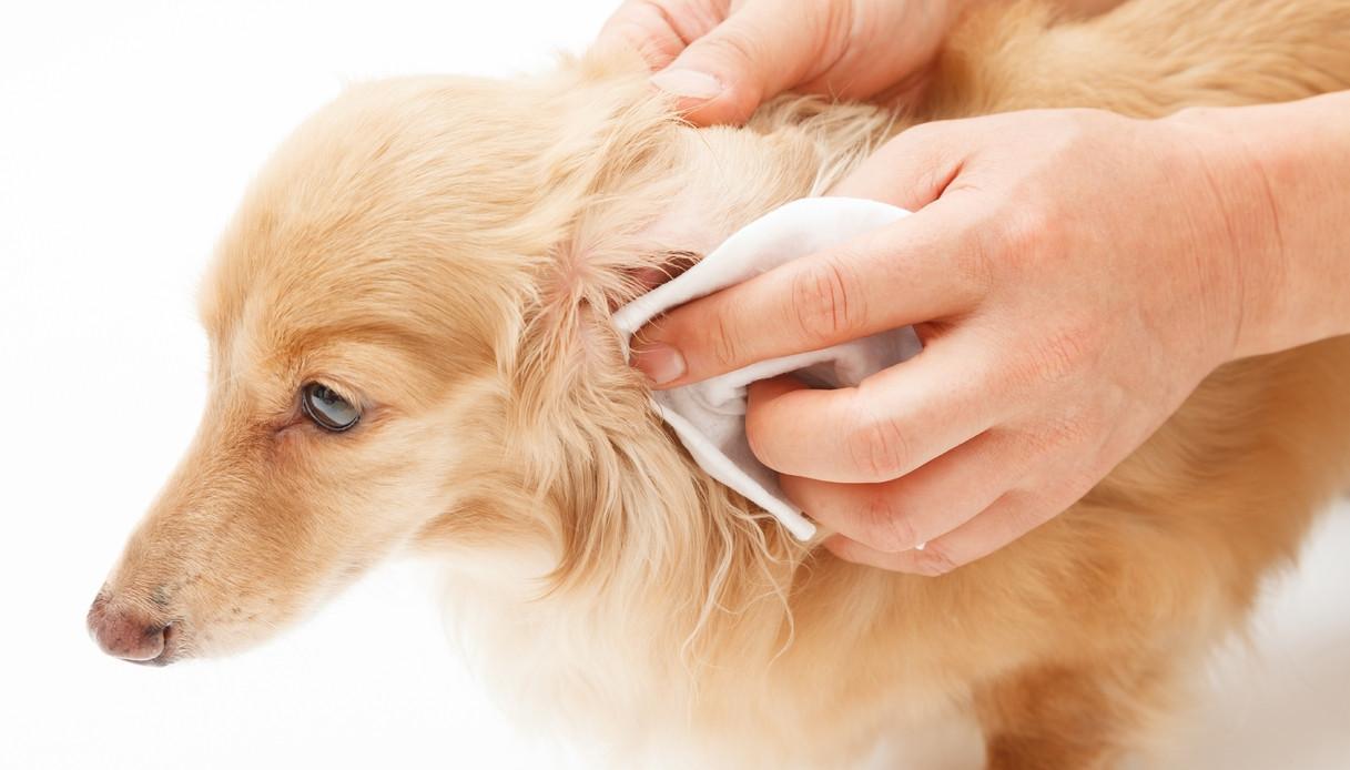 Pulizia delle orecchie del cane