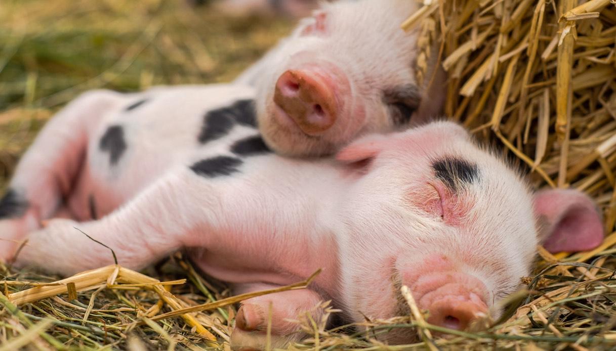 Educazione e dieta del maialino pancia a tazza