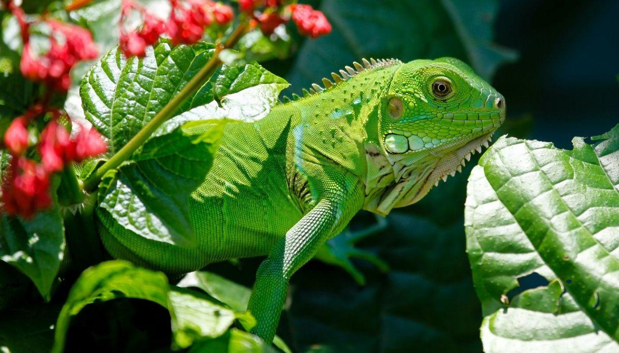 iguana domestica