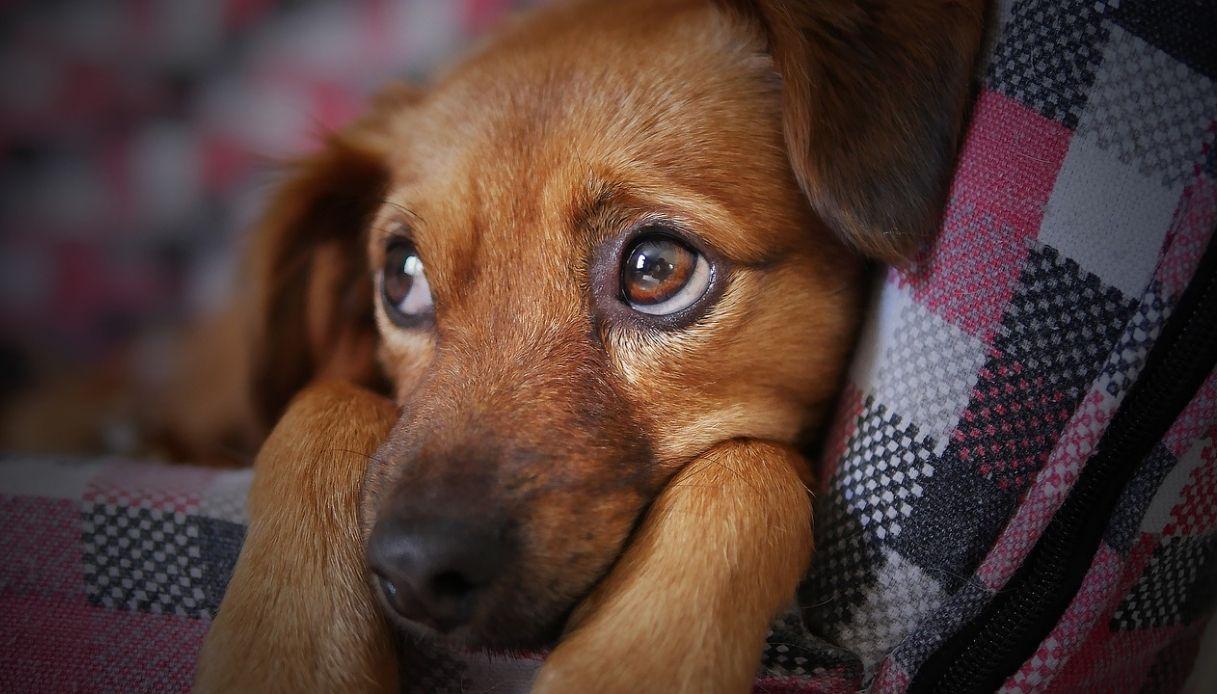 papilloma lingua cane cancer la plamani cauze