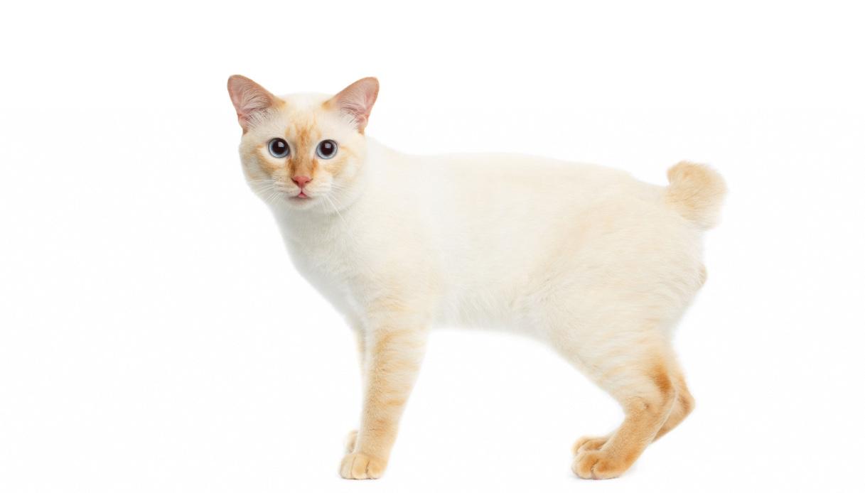 Gatto Bobtail giapponese, caratteristiche