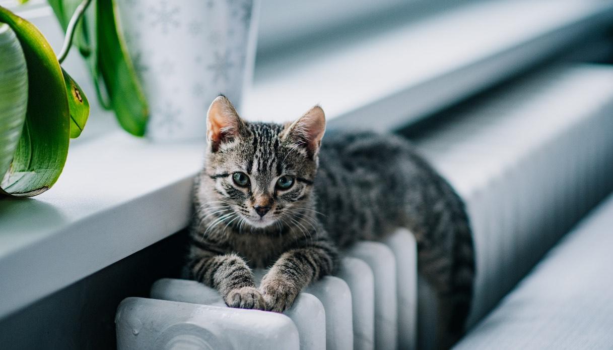 Razze del gatto tigrato