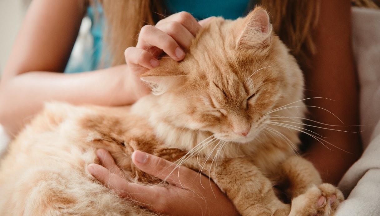 Gatto rosso: le caratteristiche