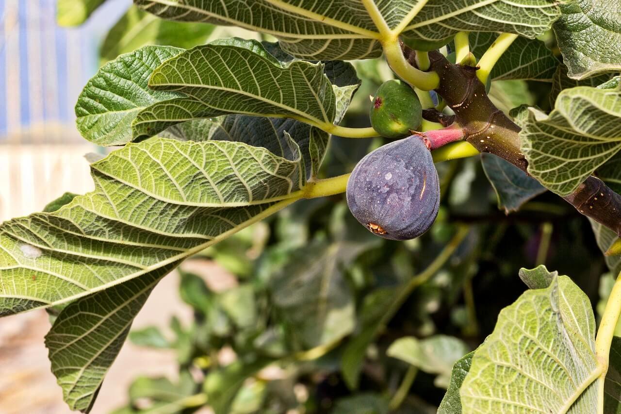 Come E Quando Potare Un Fico Ficus Carica