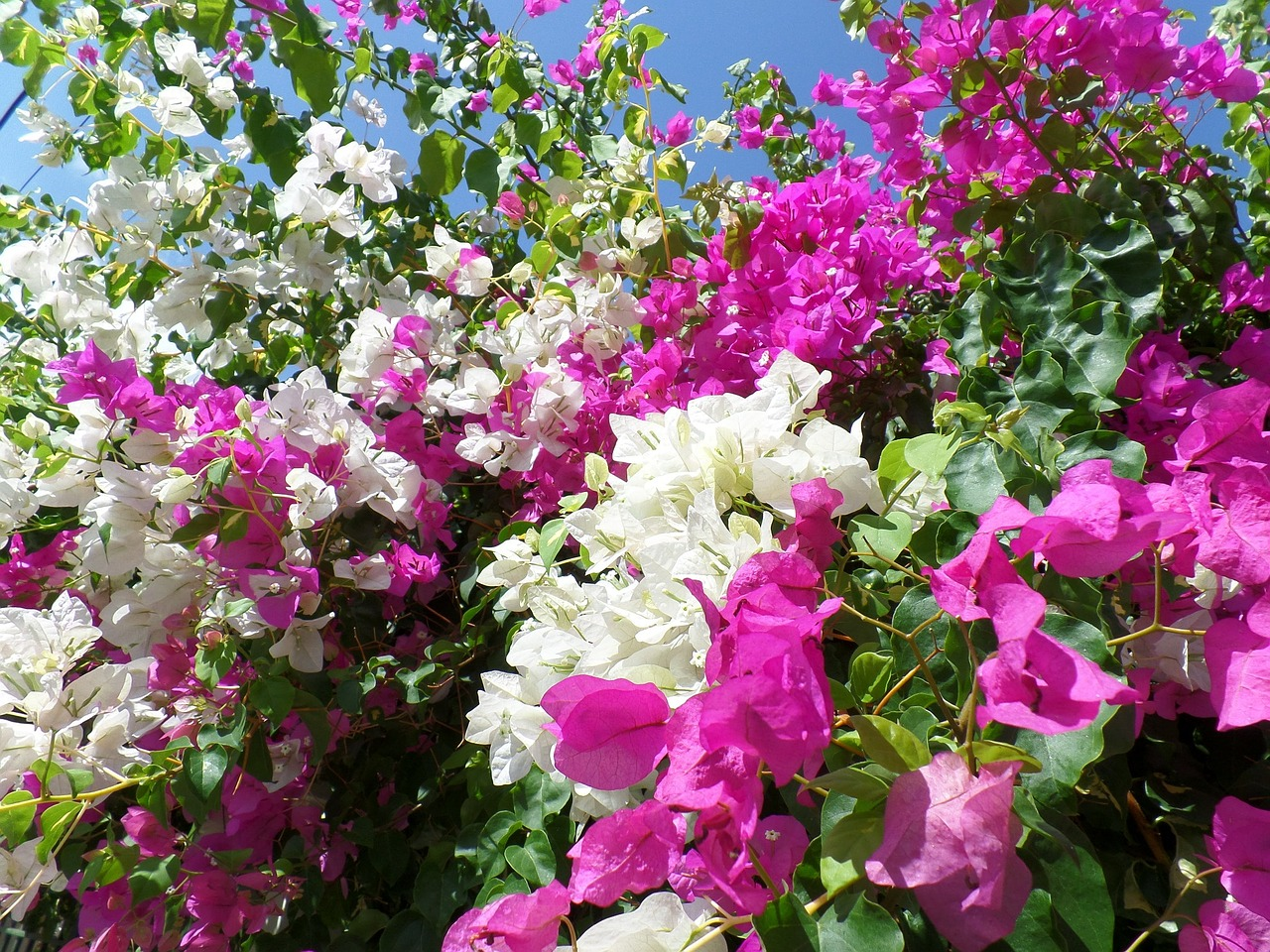 Rose Rampicanti Senza Spine come e quando potare la bouganville rampicante?