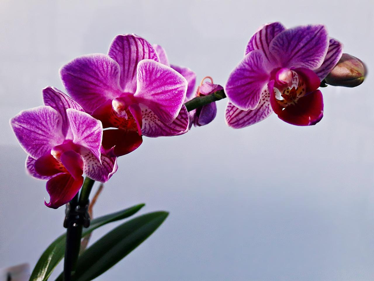 E Potare Le Orchidee Per Farle Rifiorire
