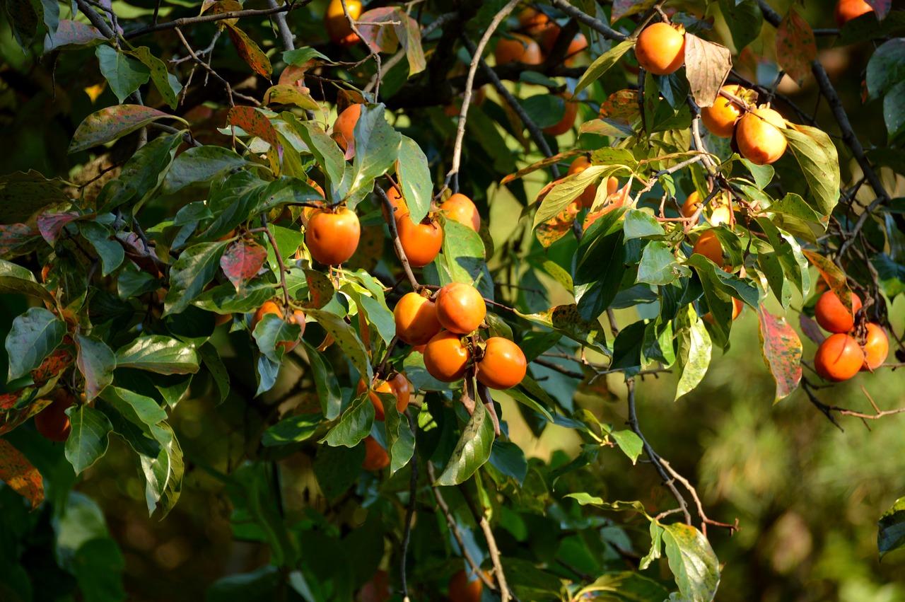 Foto Di Alberi Da Frutto come e quando potare un albero di cachi?