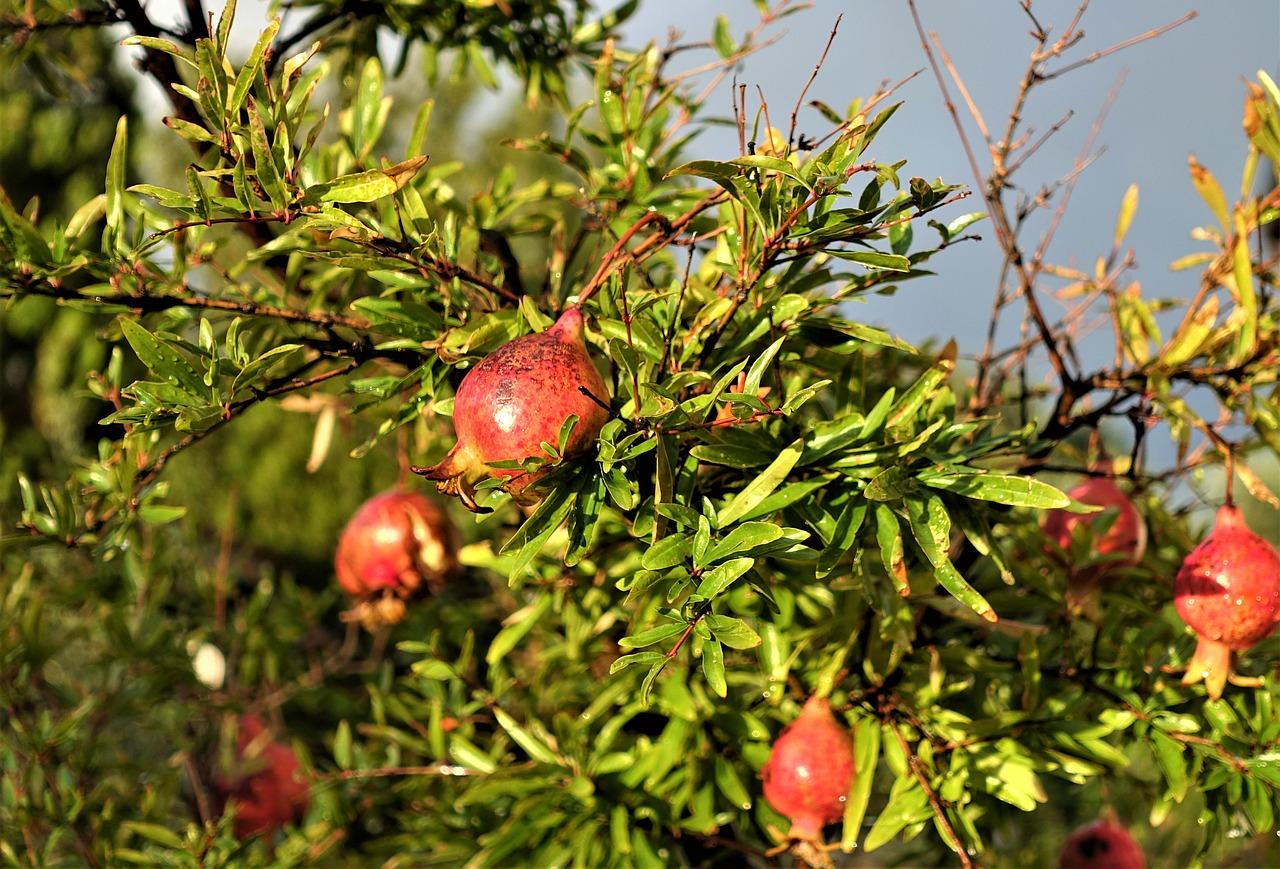 Vivaio Rosso Melograno : Punica granatum wonderful melograno da frutto frutti minori