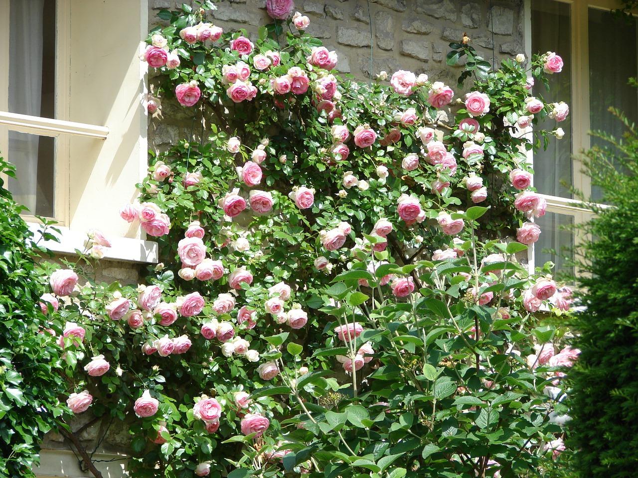 Combattere Afidi Delle Rose come combattere le malattie delle rose rampicanti