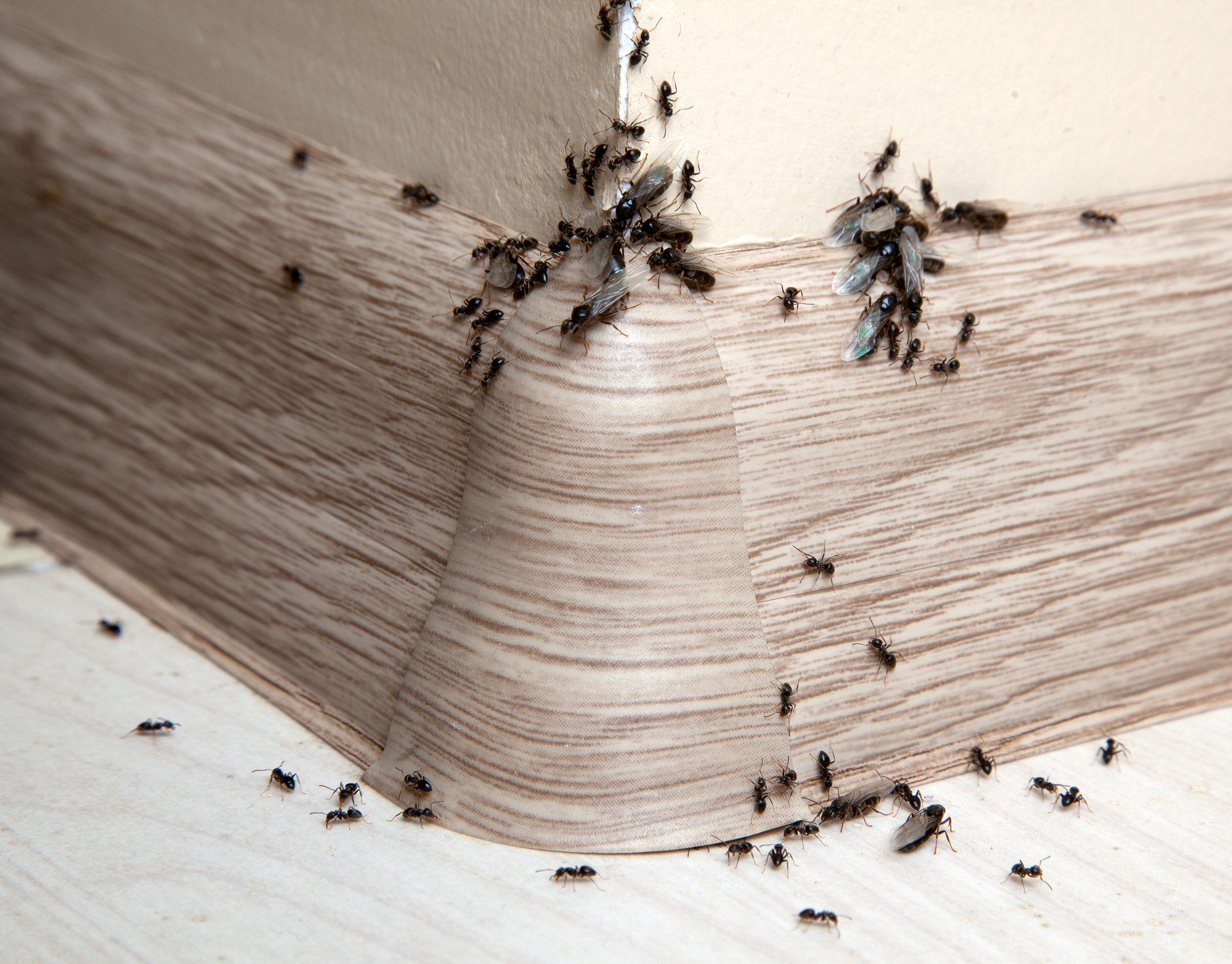 Insetti Bianchi Sul Parquet formiche piccole in bagno: cosa sono e come eliminarle