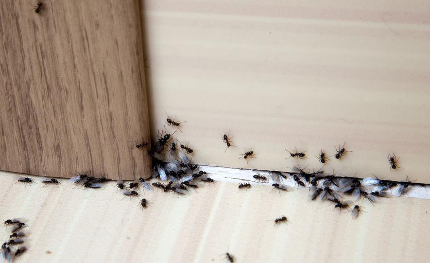 Come eliminare le formiche dalla cucina? Rimedi e consigli