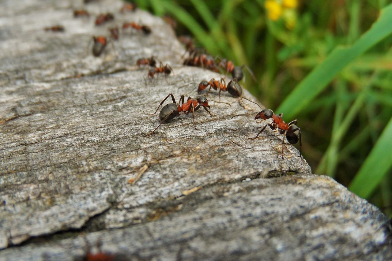 Formiche Del Legno Cosa Sono E E Eliminarle
