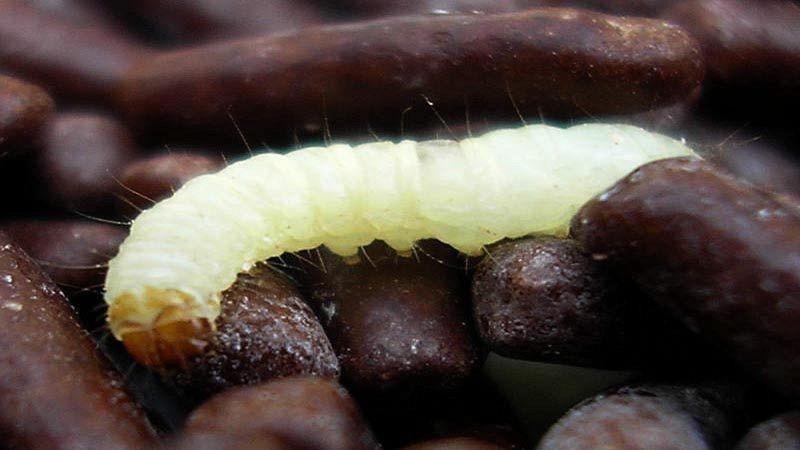 vermi bianchi in casa