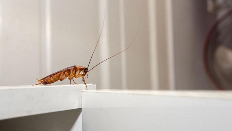Mangiapane: l\'insetto della cucina