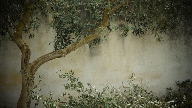 Cosa sono i succhioni dellolivo e come eliminarli?