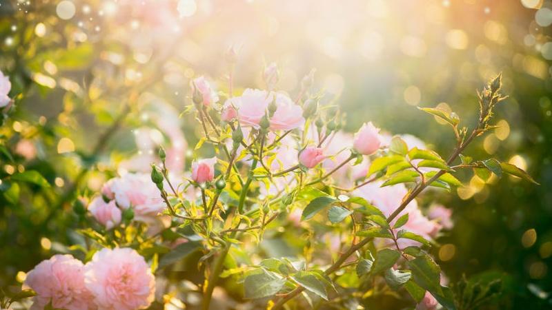 rose da coltivare