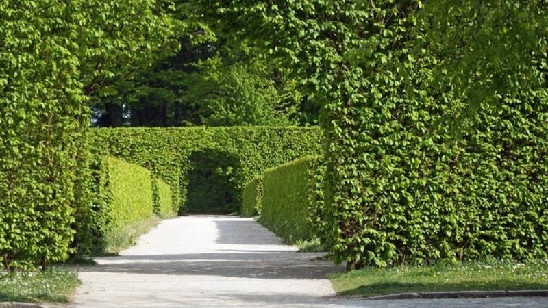 Siepi Da Giardino Prezzi : Siepi da giardino vademecum per la cura e l irrigazione