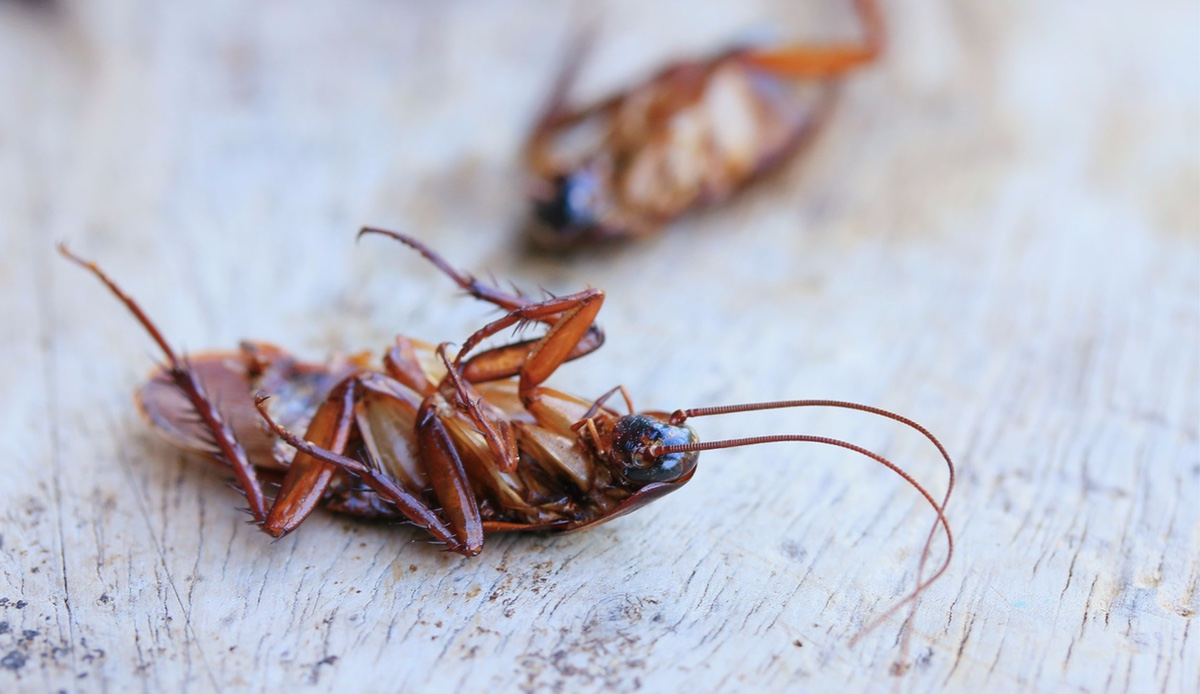 Piccoli Scarafaggi In Cucina come eliminare gli scarafaggi dagli scarichi?