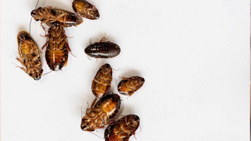 Hai trovato dei piccoli insetti marroni in cucina?
