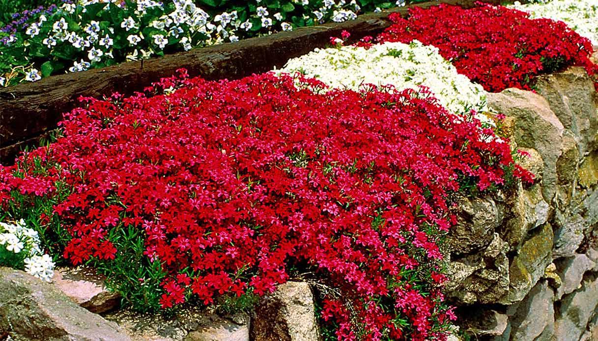 Piante Da Siepi Immagini piante perenni per bordura: quali scegliere